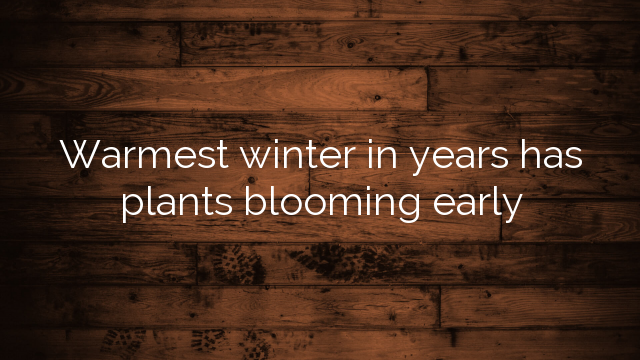 Warmest winter in years has plants blooming early